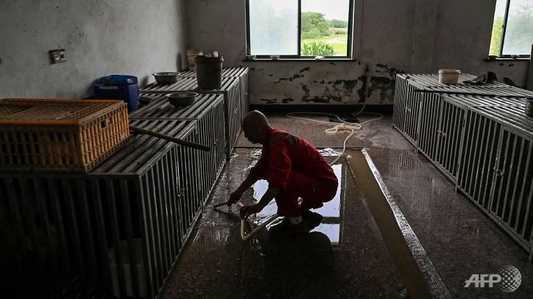 Thầy Zhi don dẹp khu nuôi nhốt