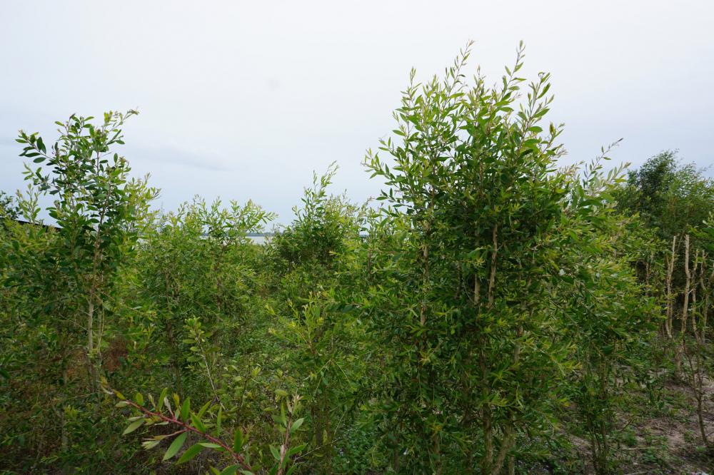 Vườn tràm năm gân năm thứ tư của  ông Hạnh đen