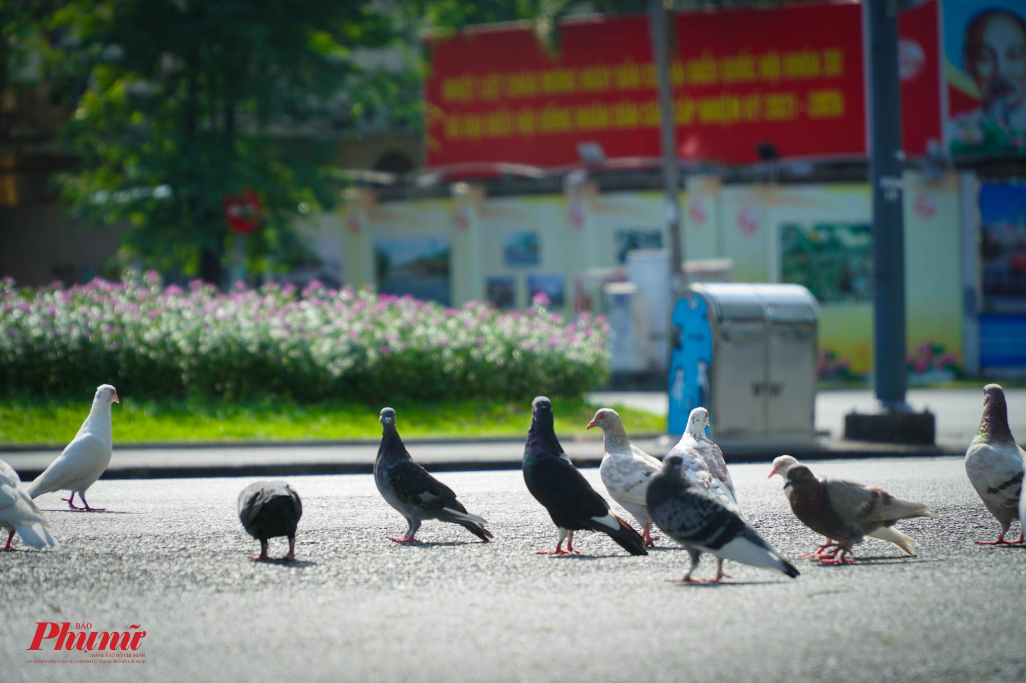 Sáng sớm, các chim chú bồ câu thường ra đường nhiều hơn để tim thức ăn