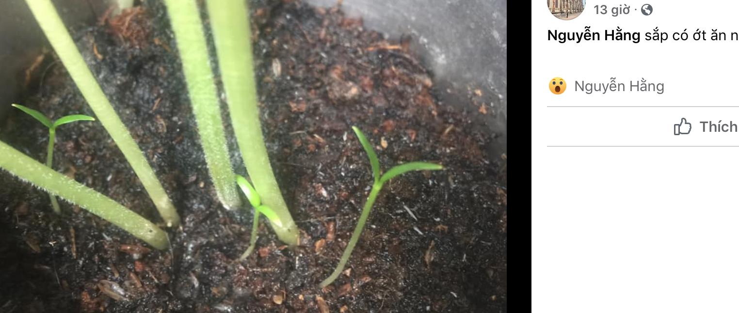 Một người khoe mầm cây ớt đã mọc sau khi gieo được vài ngày trên Facebook