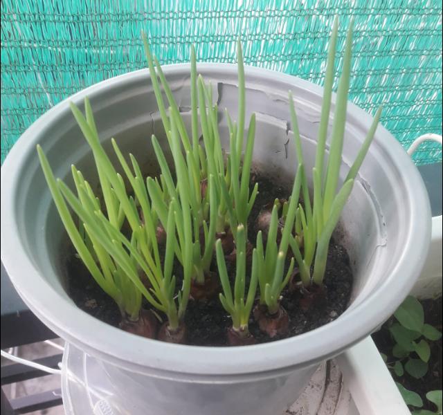 Một chậu hành sau 4 ngày trồng