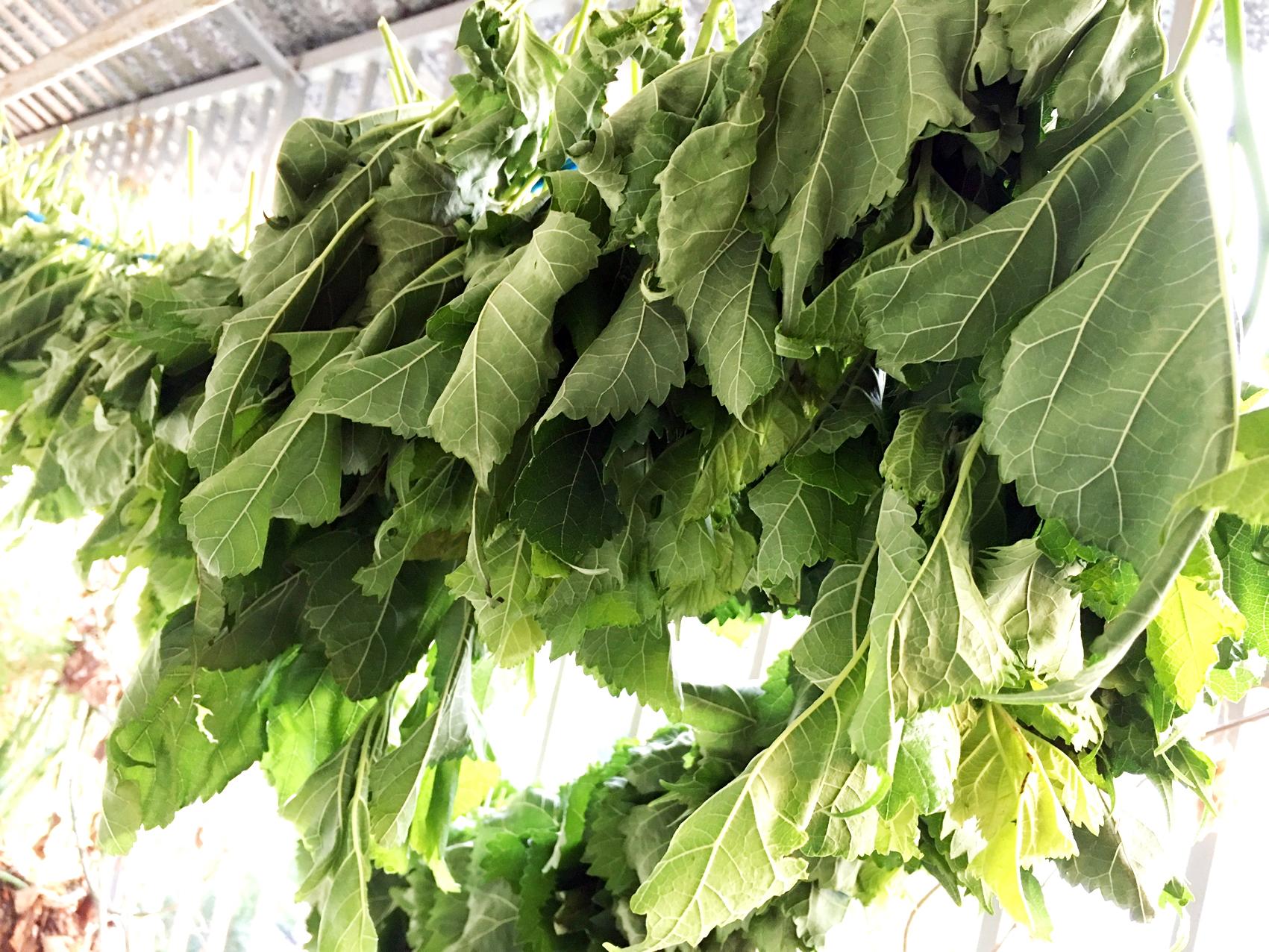 Lá dâu tằm được phơi trong bóng râm, giữ được phần lớn dược chất; giúp kháng khuẩn, thanh nhiệt cho cơ thể