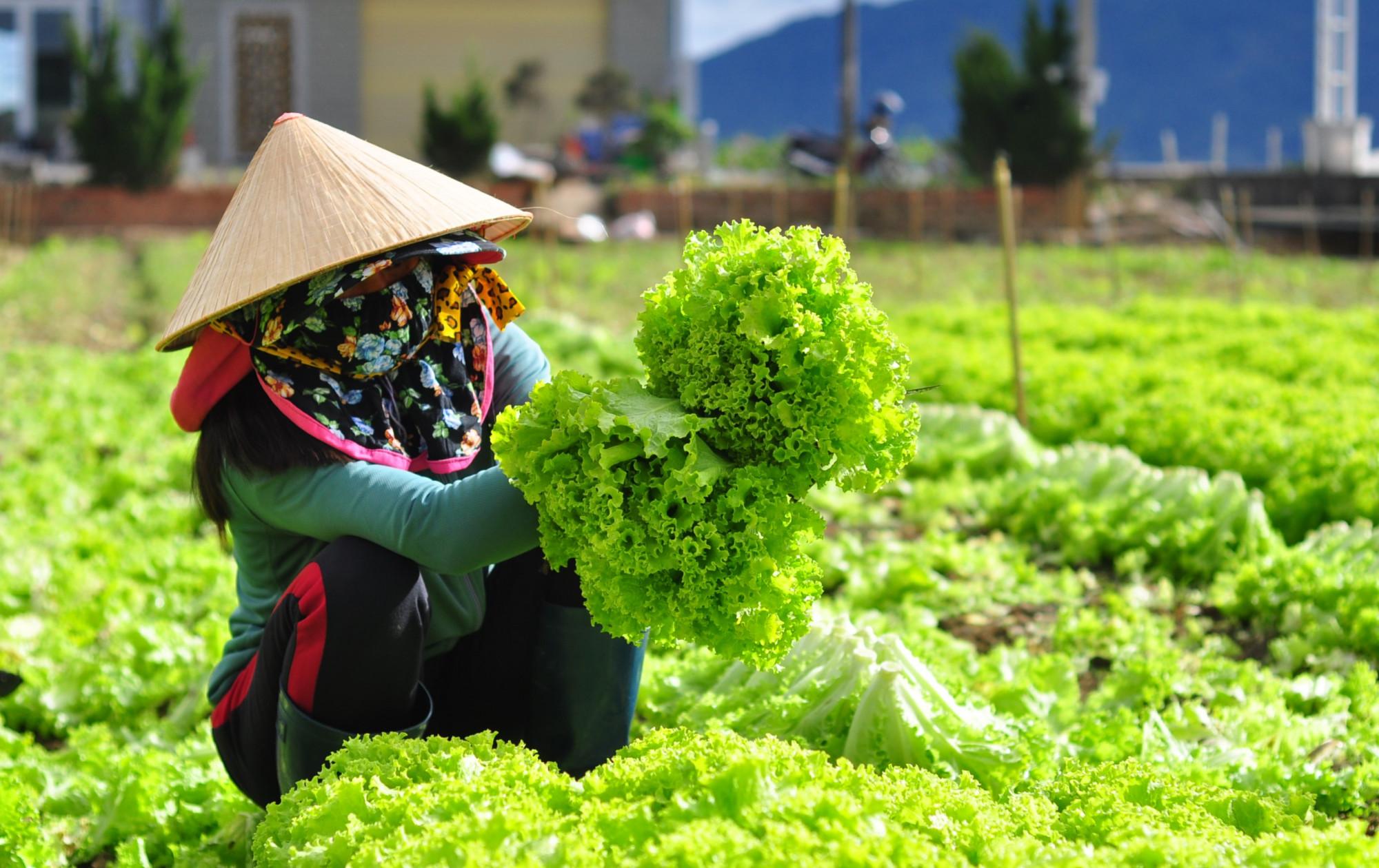 TP Đà Lạt khuyến khích nông dân trồng rau ngắn ngày cung ứng nhu cầu của các tỉnh thành vùng dịch. Ảnh: XuKa