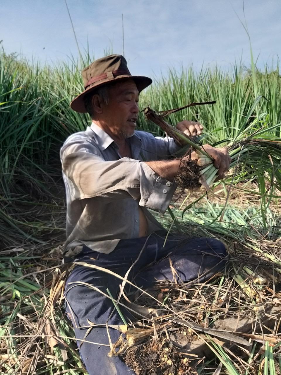 Chú Hai Châu - ba của chị Trinh thu hoạch sả gửi người dân Sài Gòn