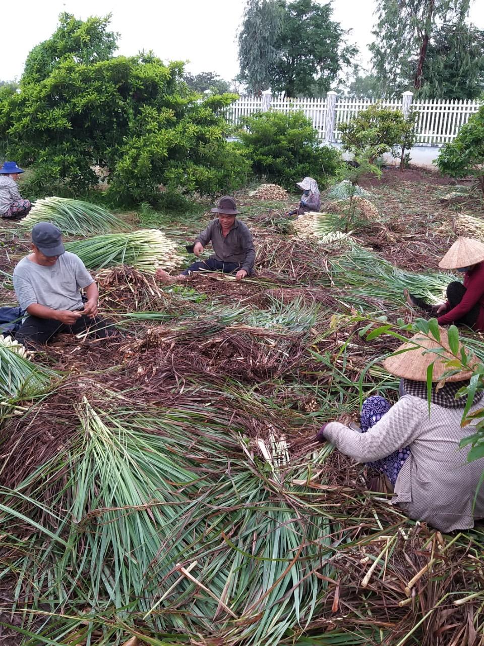 Những hộ dân xung quanh hỗ trợ gia đình chị Trinh thu hoạch sả gửi tặng người dân Sài Gòn