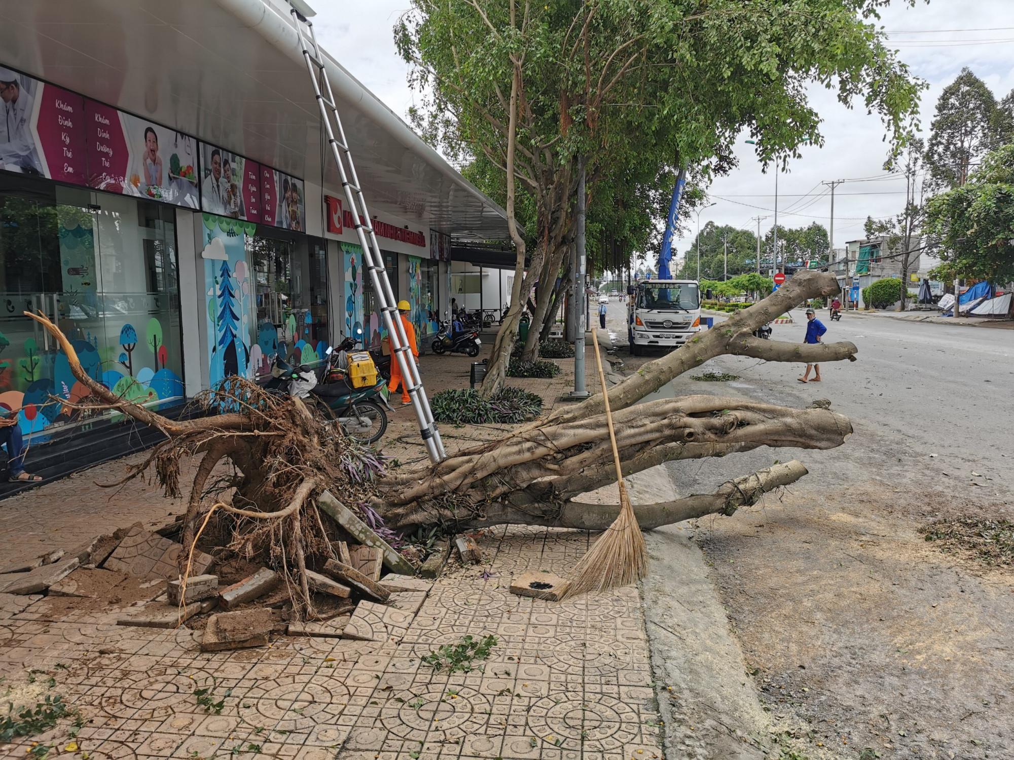 Trên đường Nguyễn Văn Cừ, một cây sanh cao khoảng 10m nằm trên vỉa hè bị gió làm bật gốc đổ ra đường.