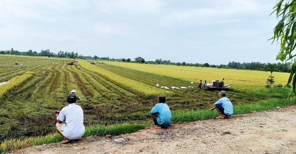 Người dân ở cù lao thu hoạch lúa nhưng vẫn giữ khoảng cách, hạn chế tiếp xúc để phòng, chống dịch