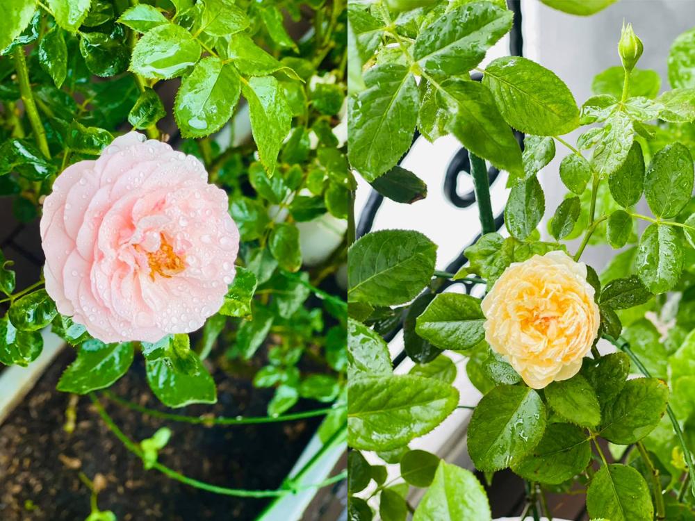 Vườn hoa hồng tươi tốt, nhiều màu sắc của Hồ Bích Trâm
