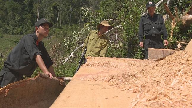 Nhiều cây gỗ rừng cổ thụ bị cưa hạ