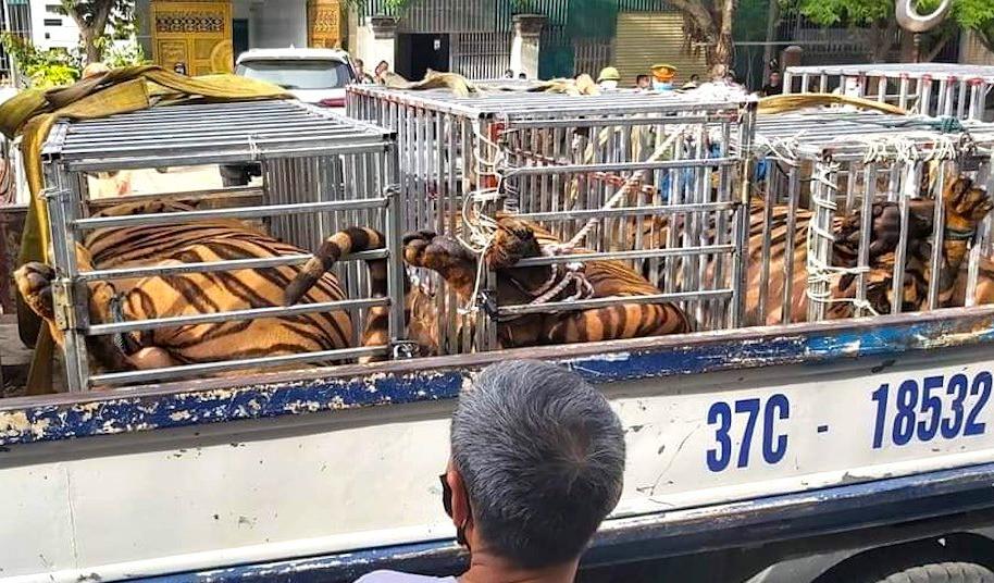16 cá thể hổ được phát hiện nuôi nhốt trong nhà ở Nghệ An