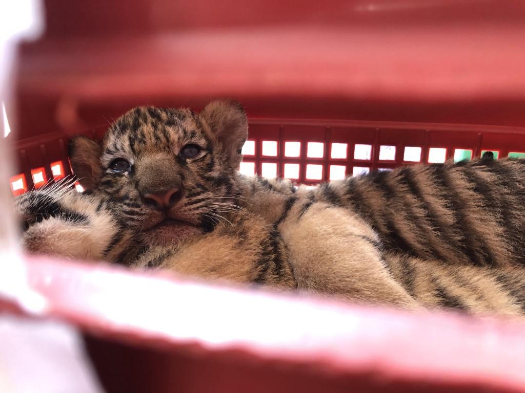 7 cá thể hổ được phát hiện trên xe ô tô được bàn giao cho Vườn quốc gia Pù Mát nuôi dưỡng