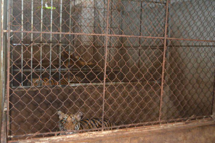Hệ thống nuôi nhốt hổ khép kín nên phần lớn người dân địa phương đều không hay biết