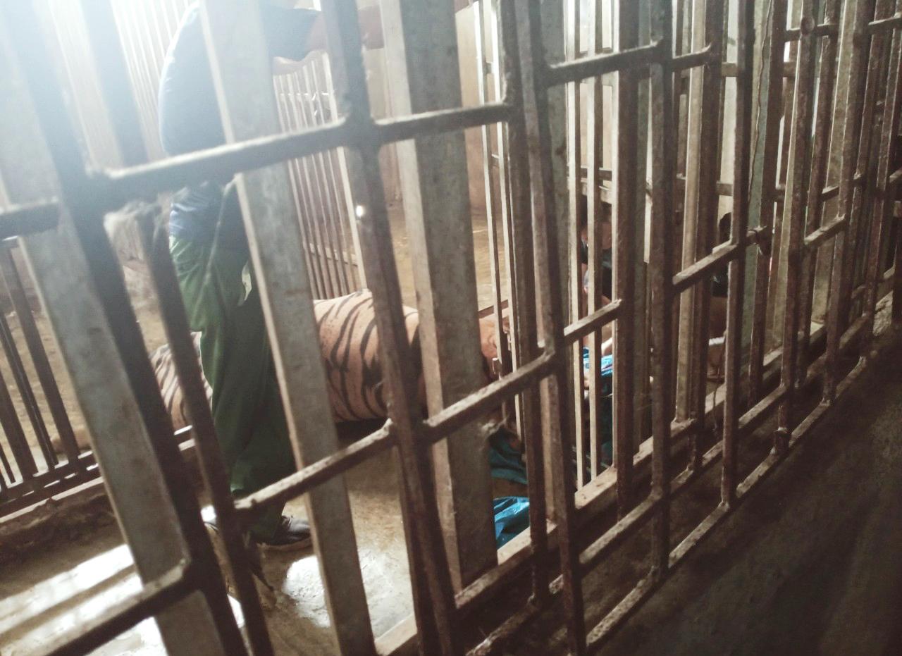 Hàng chục con hổ trưởng thành được nuôi nhốt trong hệ thống chuồng trại chật hẹp