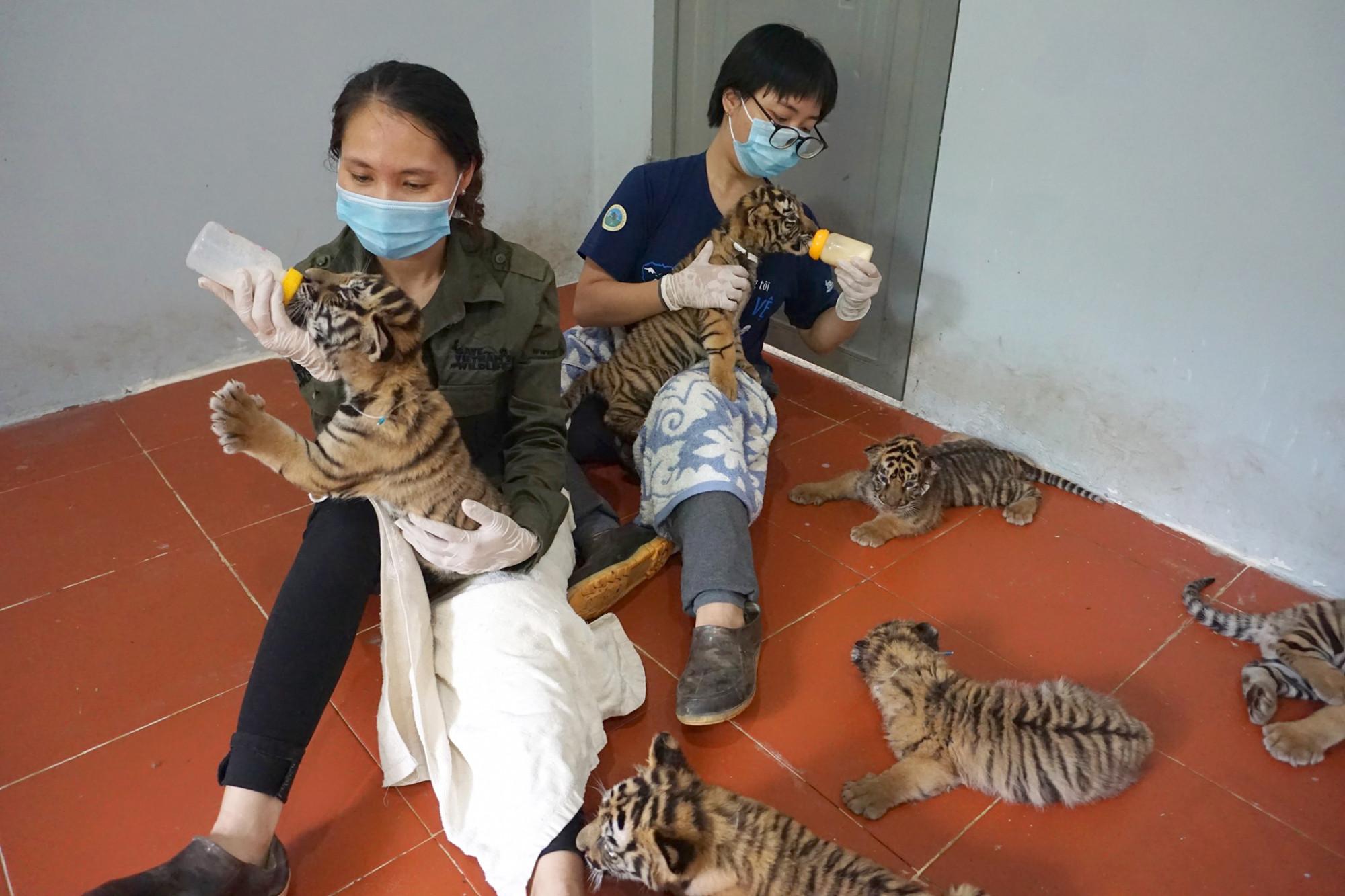 7 cá thể hổ con được phát hiện trên đường vận chuyển được bàn giao cho Vườn quốc gia Pù Mát chăm sóc