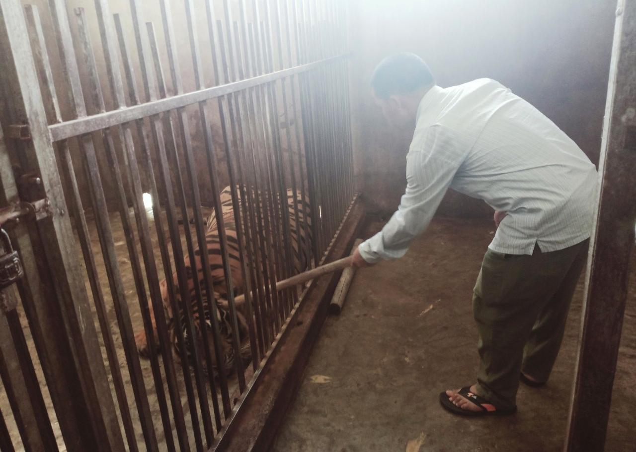 Số hổ này được người dân mua về từ Lào lúc còn nhỏ, đến nay đã có trọng lượng trên 200kg mỗi con