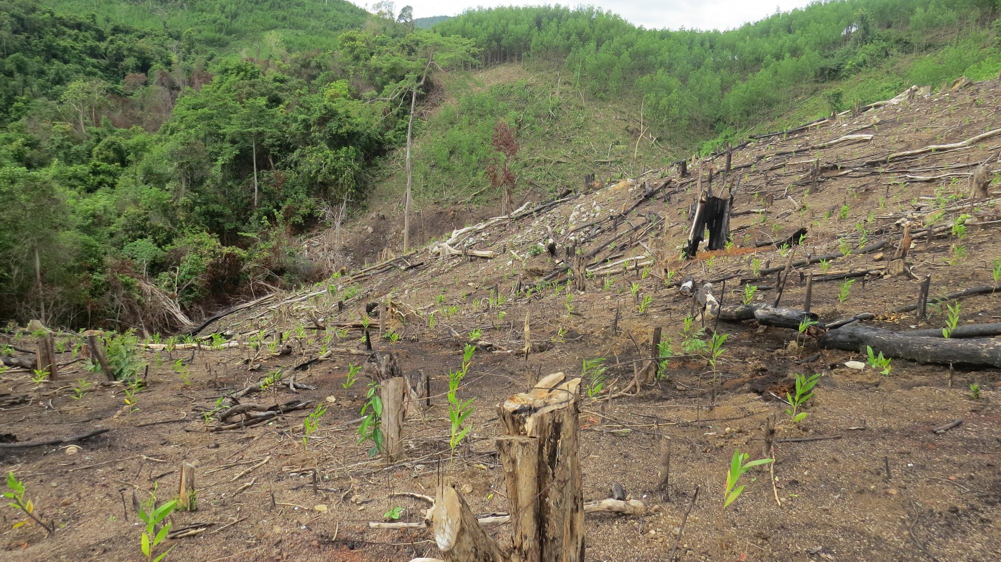 Rừng khu vực suối Quanh, thôn Tân Hội, xã Sơn Hội, huyện Sơn Hòa bị chặt hạ trồng keo