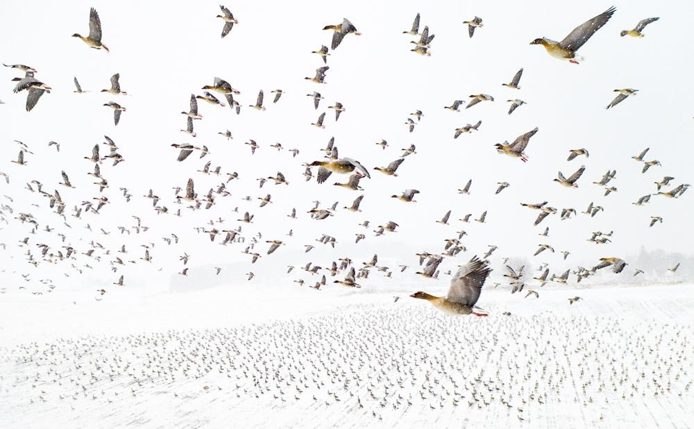 Bức ảnh Ngỗng chân hồng gặp gỡ mùa đông của Terje Kolaas được trao giải bức ảnh của năm. loài di cư, mùa đông sống ở tây bắc Châu Âu, đặc biệt là tại Đảo Anh, Hà Lan và miền tây Đan Mạch