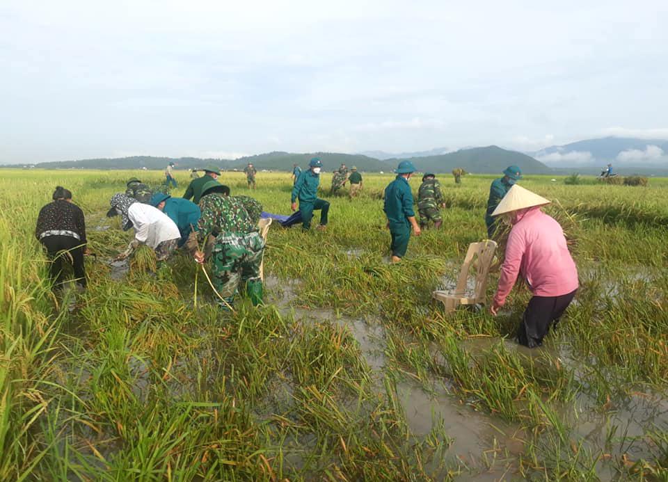 Nhiều ruộng lúa bị gãy đổ do mưa lớn khiến việc thu hoạch gặp khó khăn