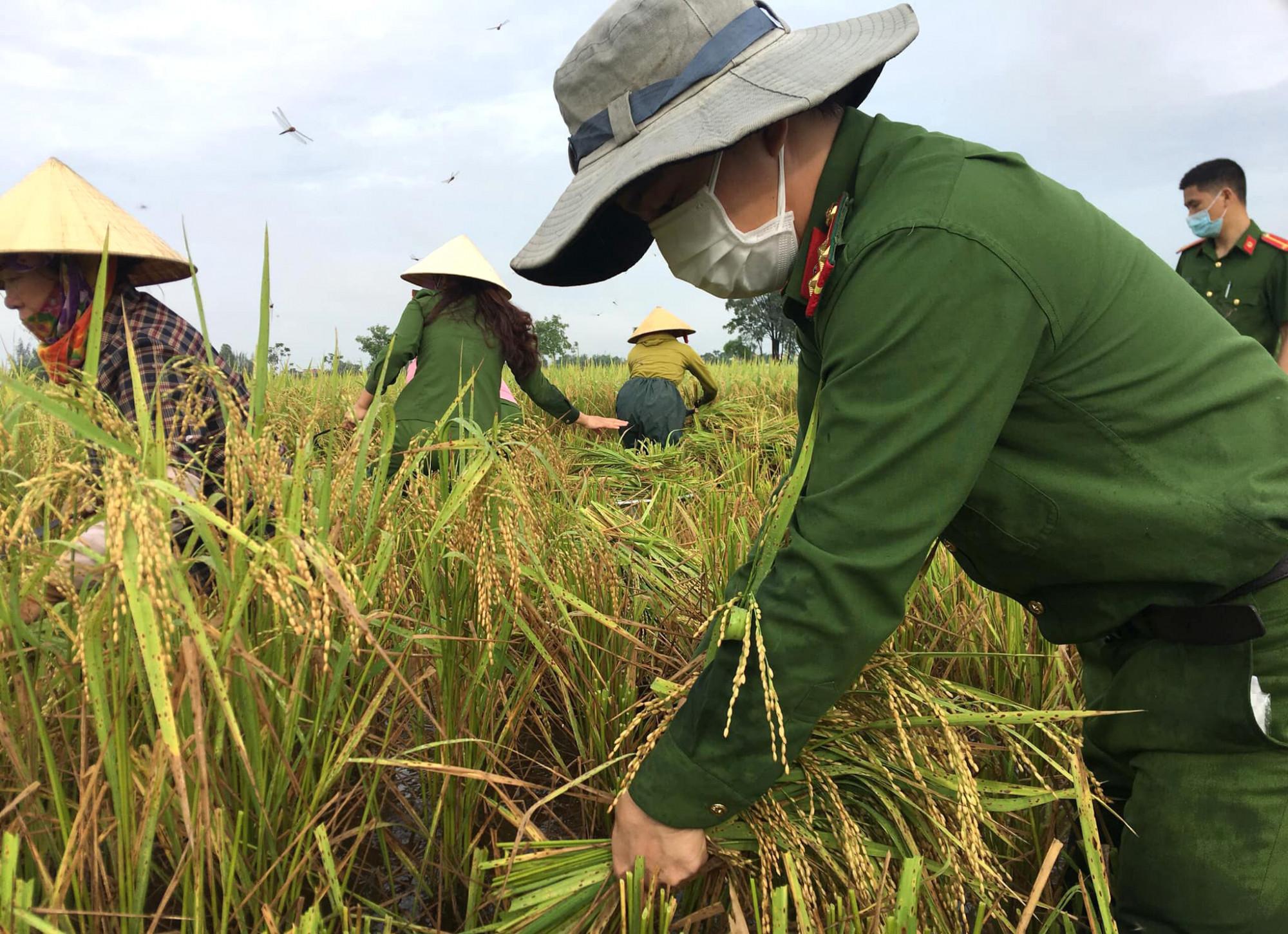 Công an, bộ đội xuống ruộng giúp nông dân thu hoạch lúa chạy bão