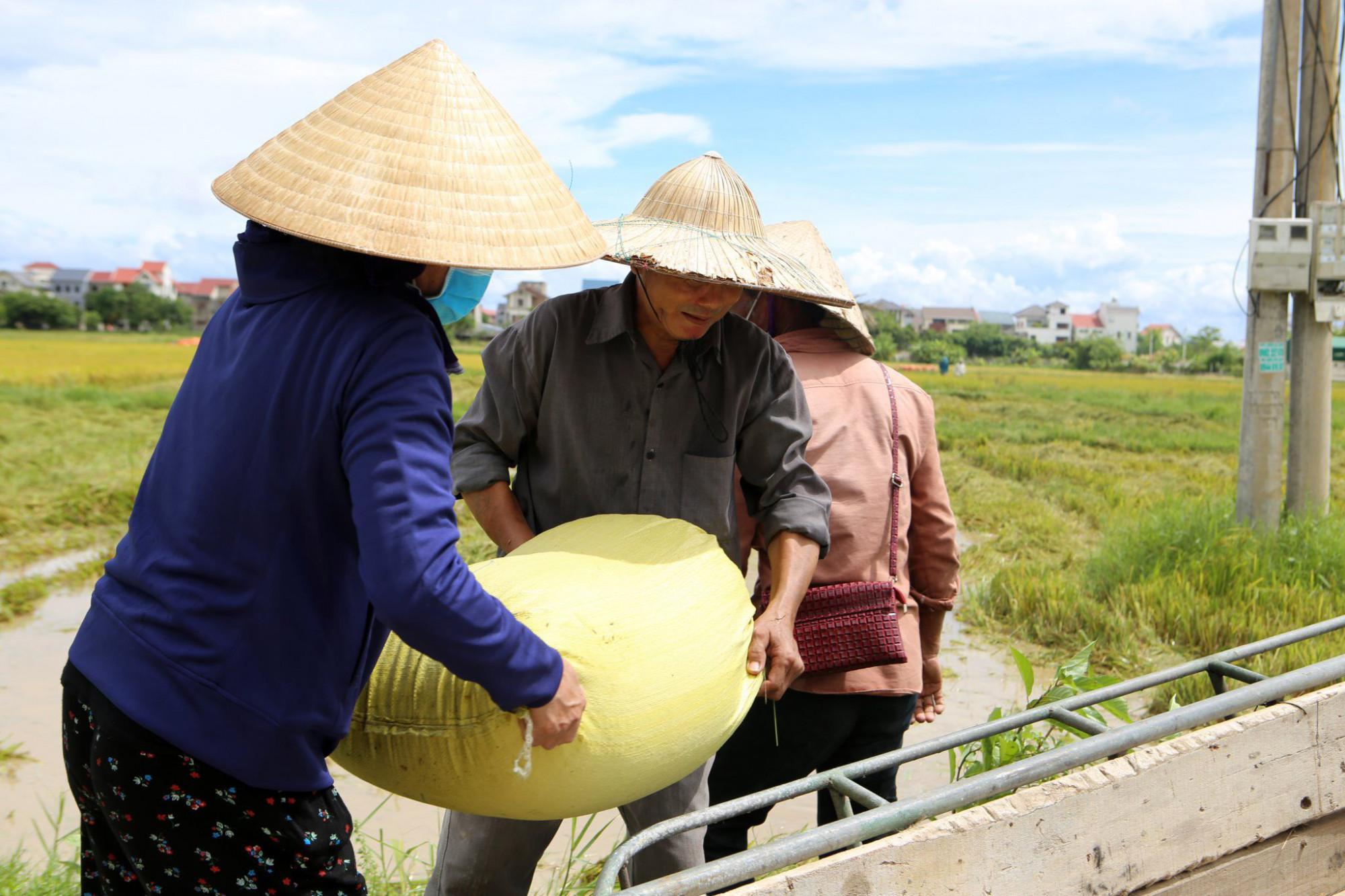 Nhiều cánh đồng lúa mới chín 70% song cũng được thu hoạch để tránh bị mất trắng