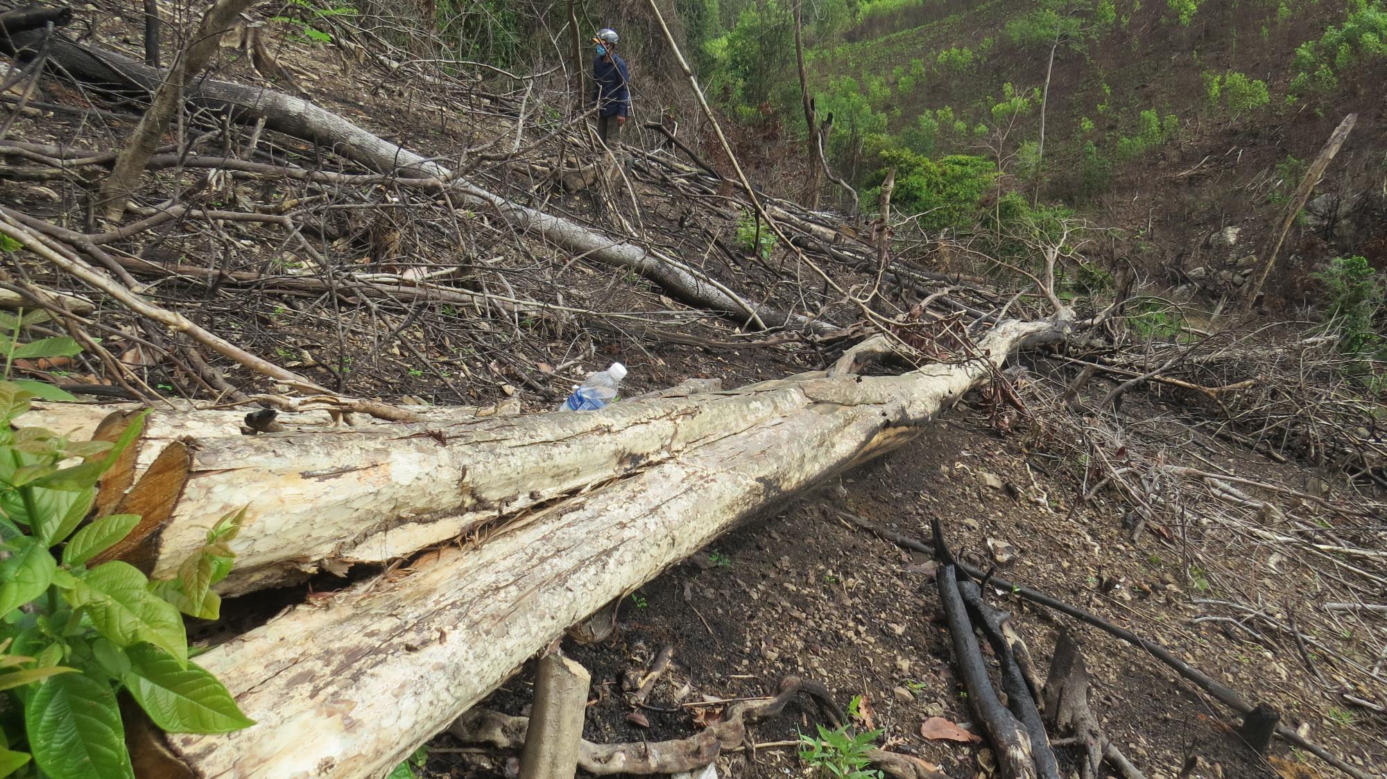 Nhiều cây to dài hơn chục mét bị cưa hạ