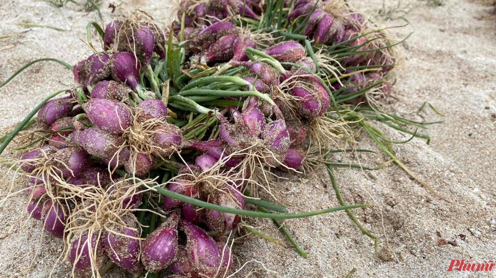 Hành đã vào mùa thu hoạch, chưa nhổ kịp, bão đến làm dập lá, úng, ngã rạp thiệt hại khoảng một nửa, một người dân trên đảo Lý Sơn cho biết