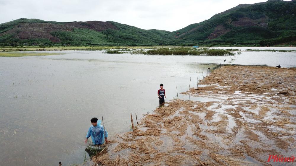 Người dân đóng cọc, giăng dây để ngăn rạ vào ruộng lúa