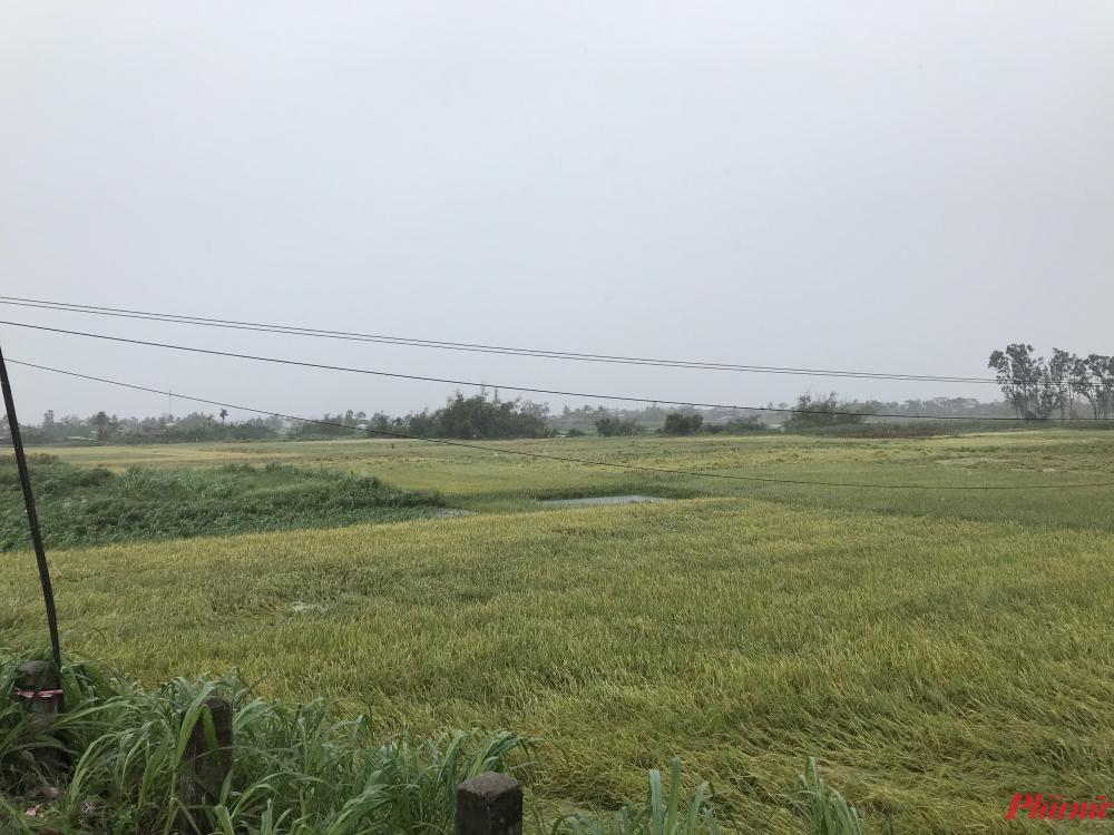 Nhiều diện tích lúa bị ngã đổ, người dân không kịp thu hoạch