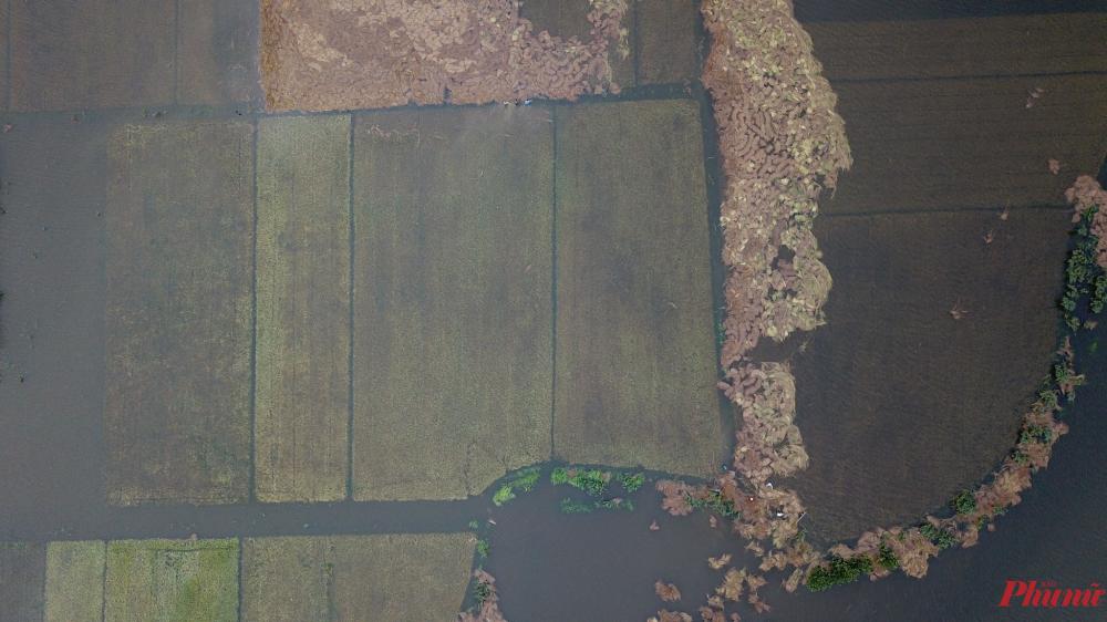 Do mưa to gió mạnh, rạ trôi vào ruộng lúa của nông dân
