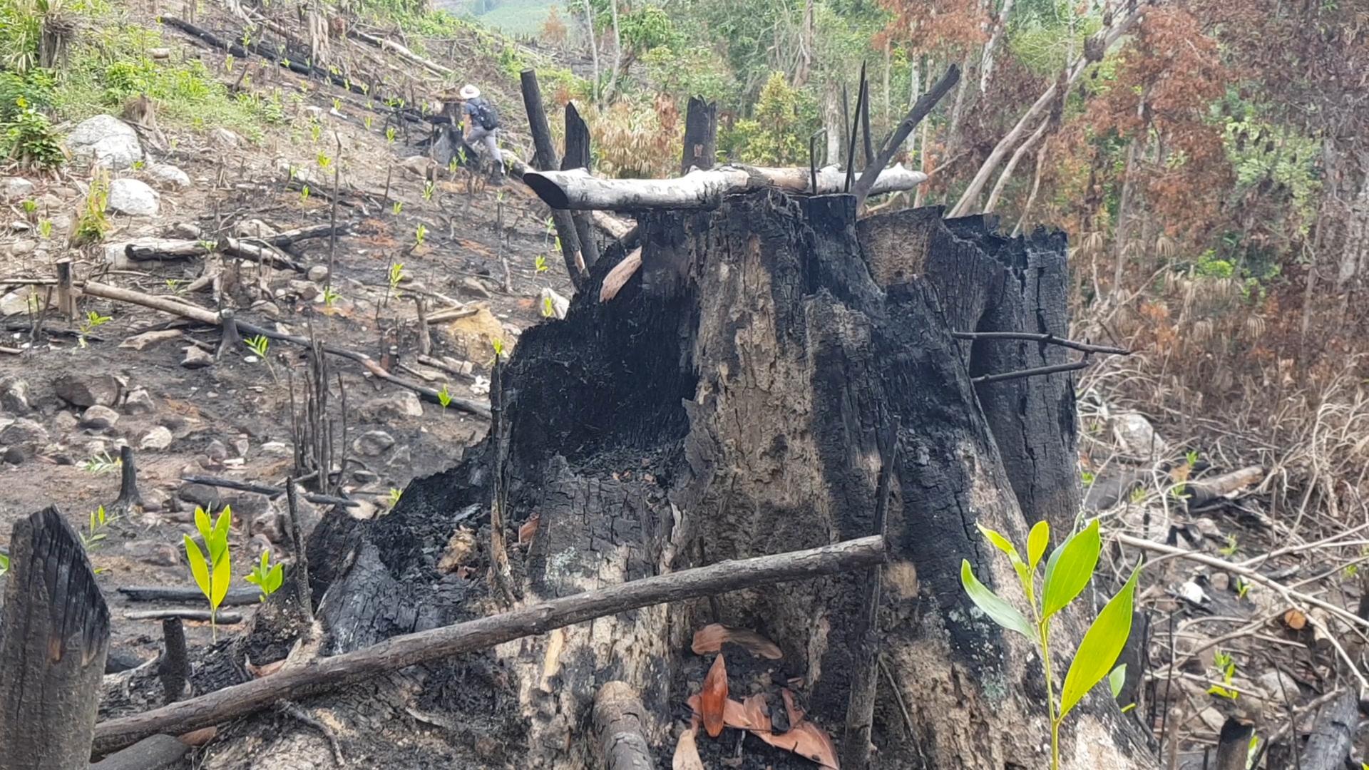 Nhiều gốc cây rừng to bị chặt hạ