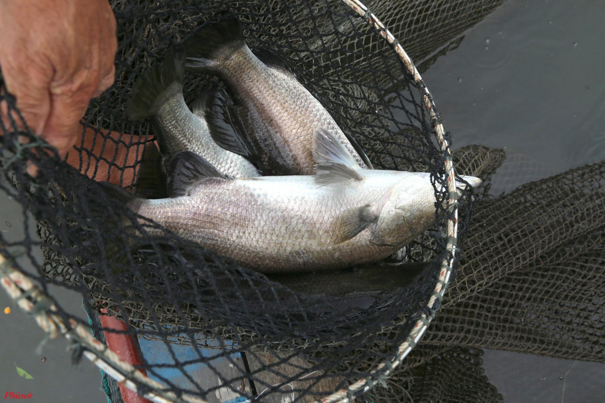 Cá hồng mỹ, cá dược đạt trọng lượng 1kg mỗi con sau gần 1 năm nuôi