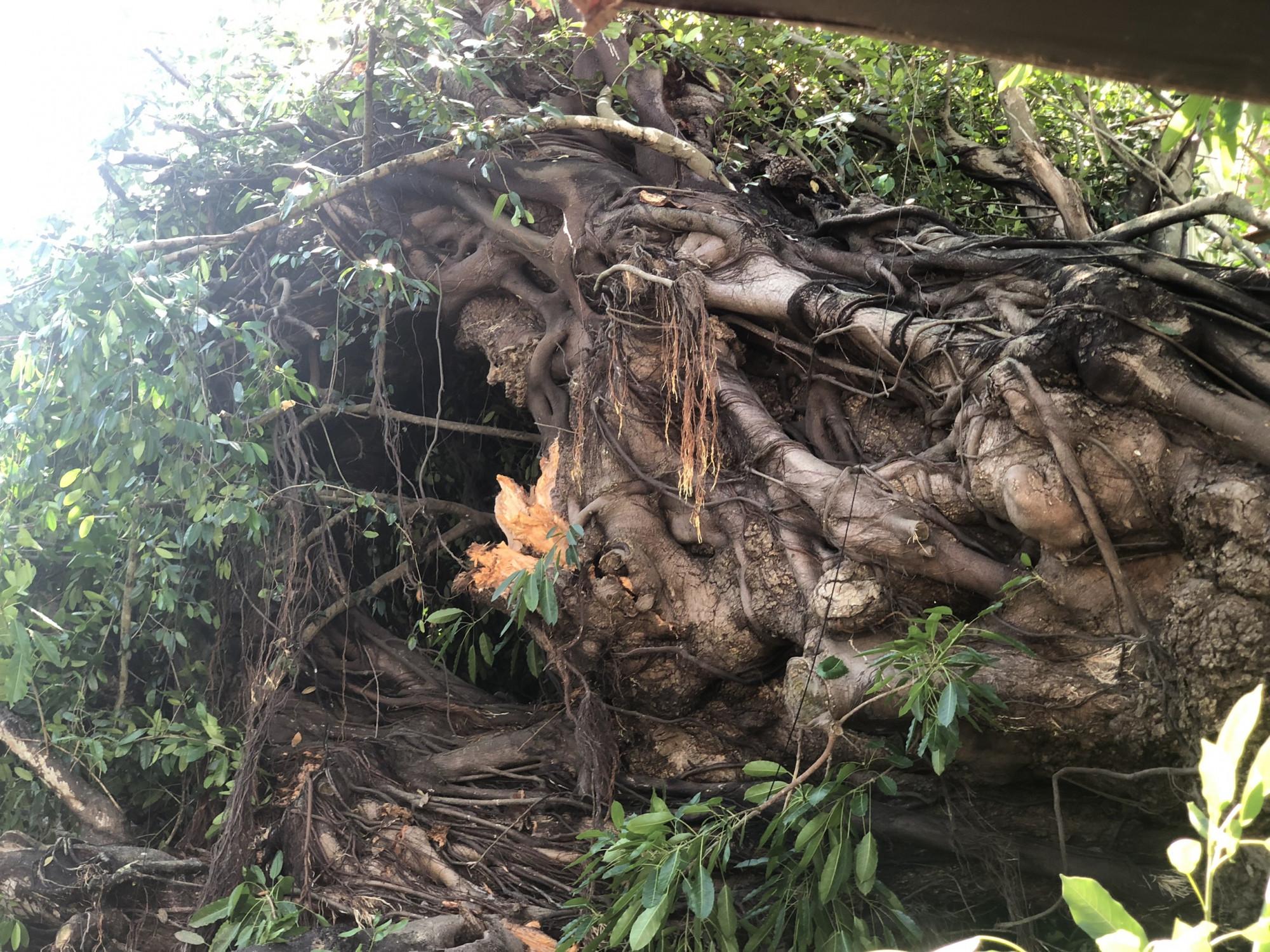 Gốc cây đa cổ thụ bật gốc