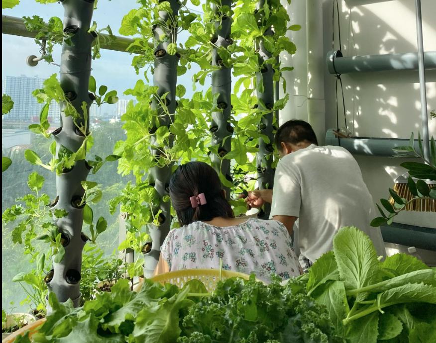 Ban công xanh mát và rổ rau cải thu hoạch trong mùa dịch của một gia đình ở Q.7, TPHCM - Ảnh: Đặng Liên