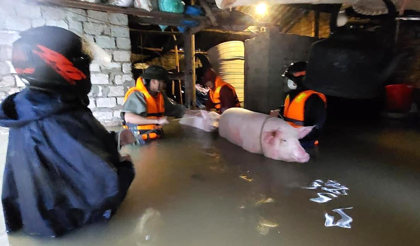 Nước lũ lên nhanh khiến nhiều gia đình không kịp sơ tán vật nuôi đến nơi cao ráo