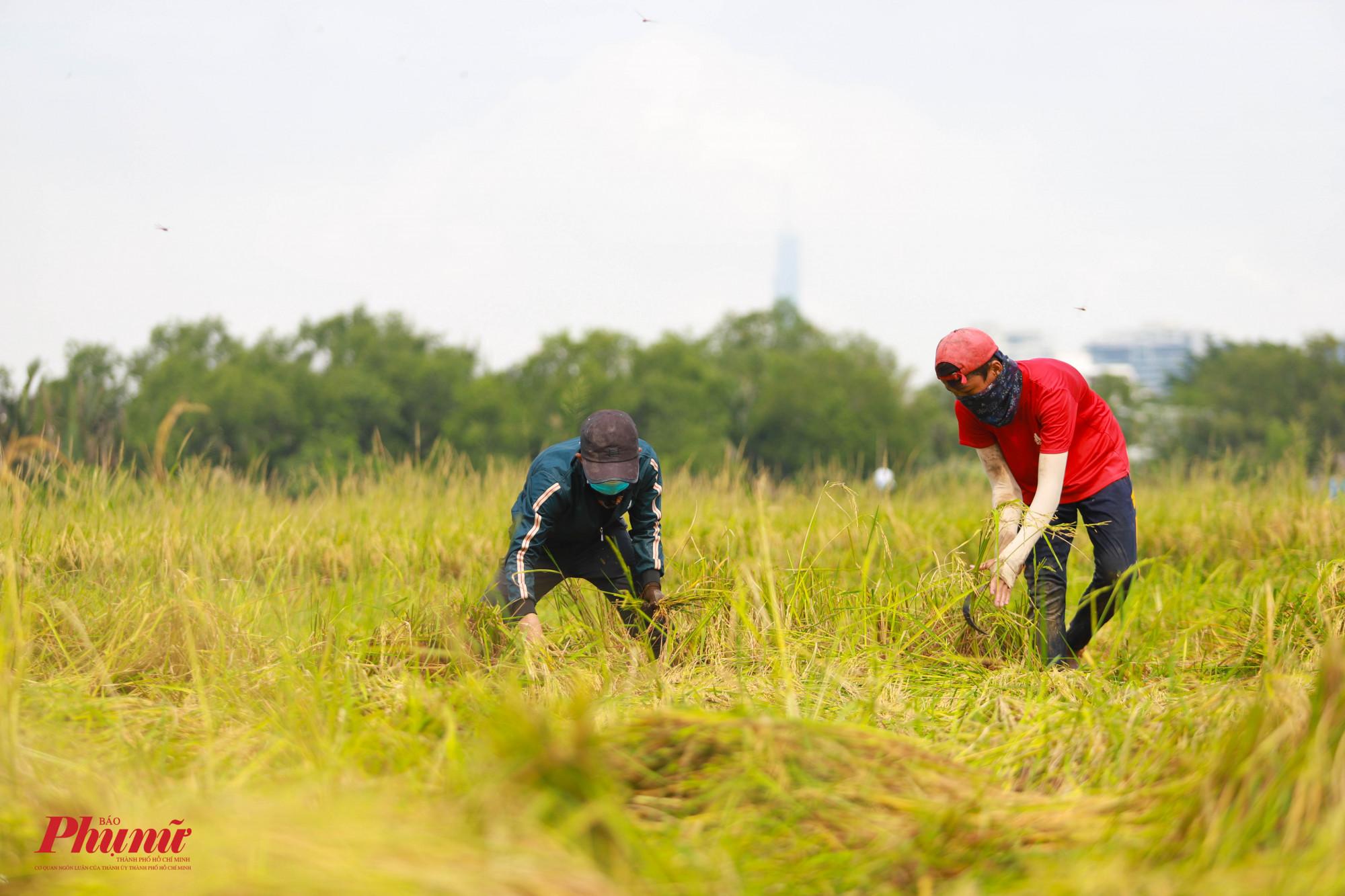 Theo người dân, họ được thuê cắt lúa giá 1 triệu đồng/công (1.000m2)