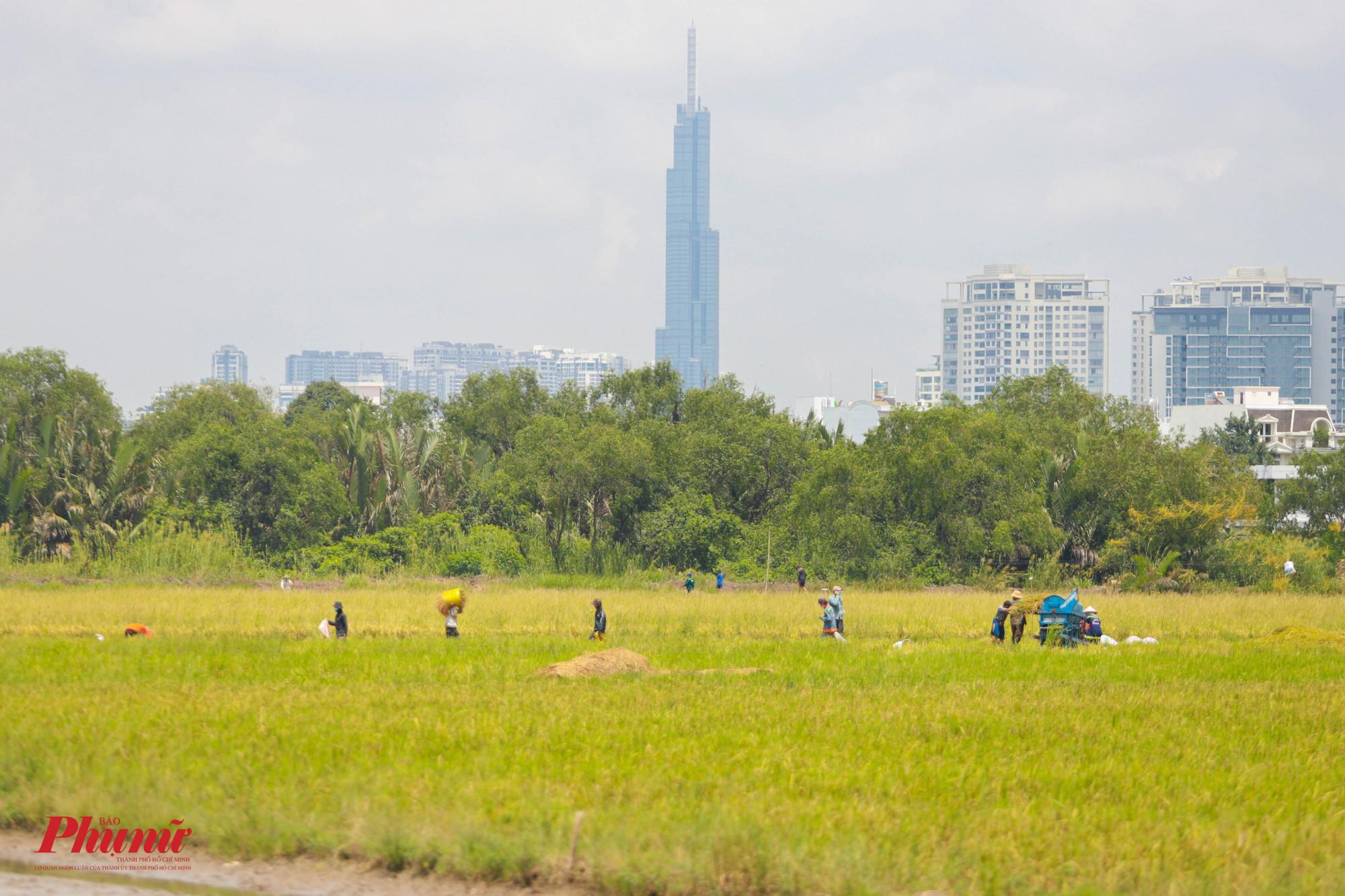 Cánh đồng lúa cạnh trạm thu phí cầu Phú Mỹ (quận 2) rộn tiếng cười, nói của bà con gặt lúa