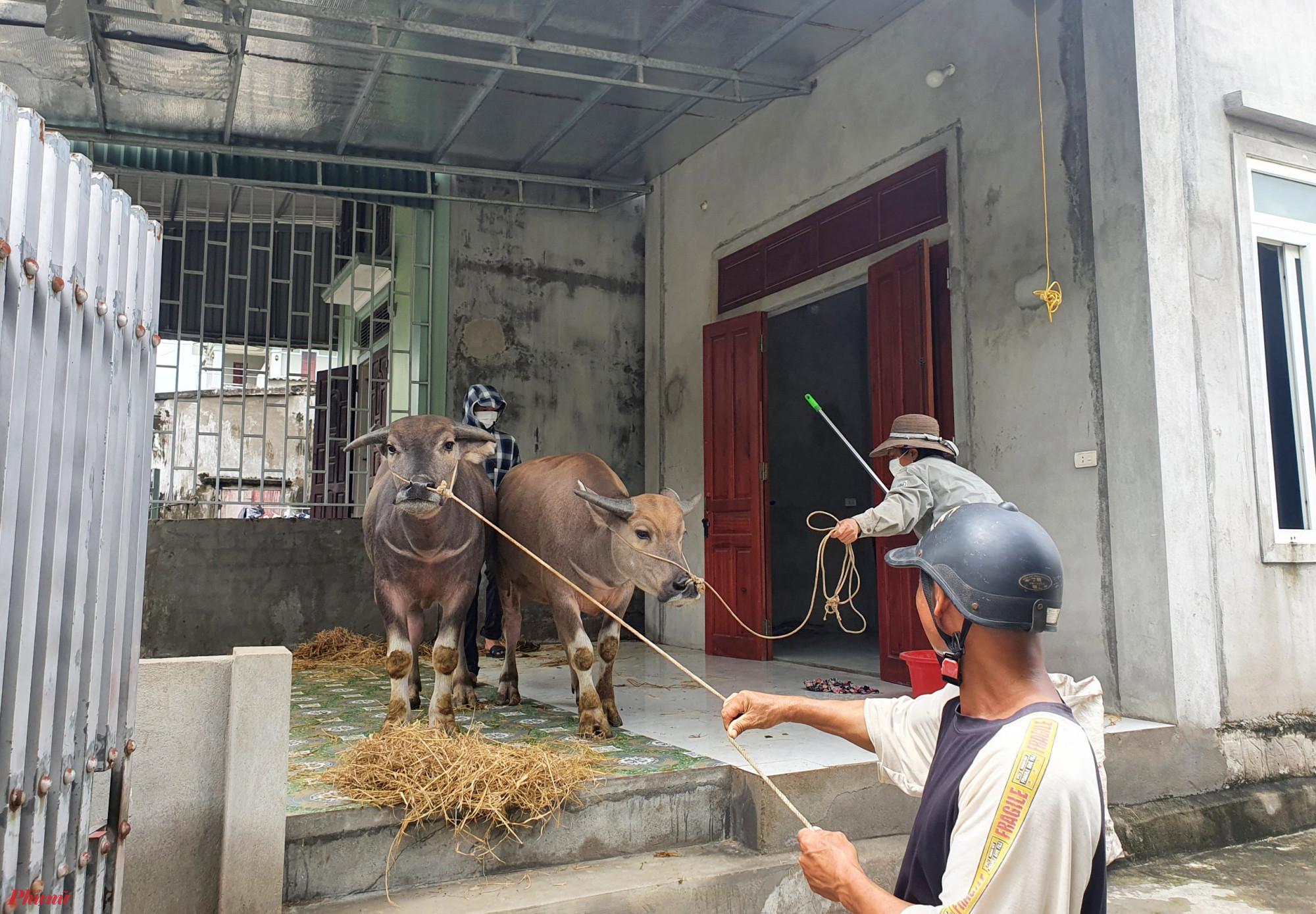 Lũ lên nhanh, nhiều người dân phải đưa vật nuôi lên nhà trú tạm