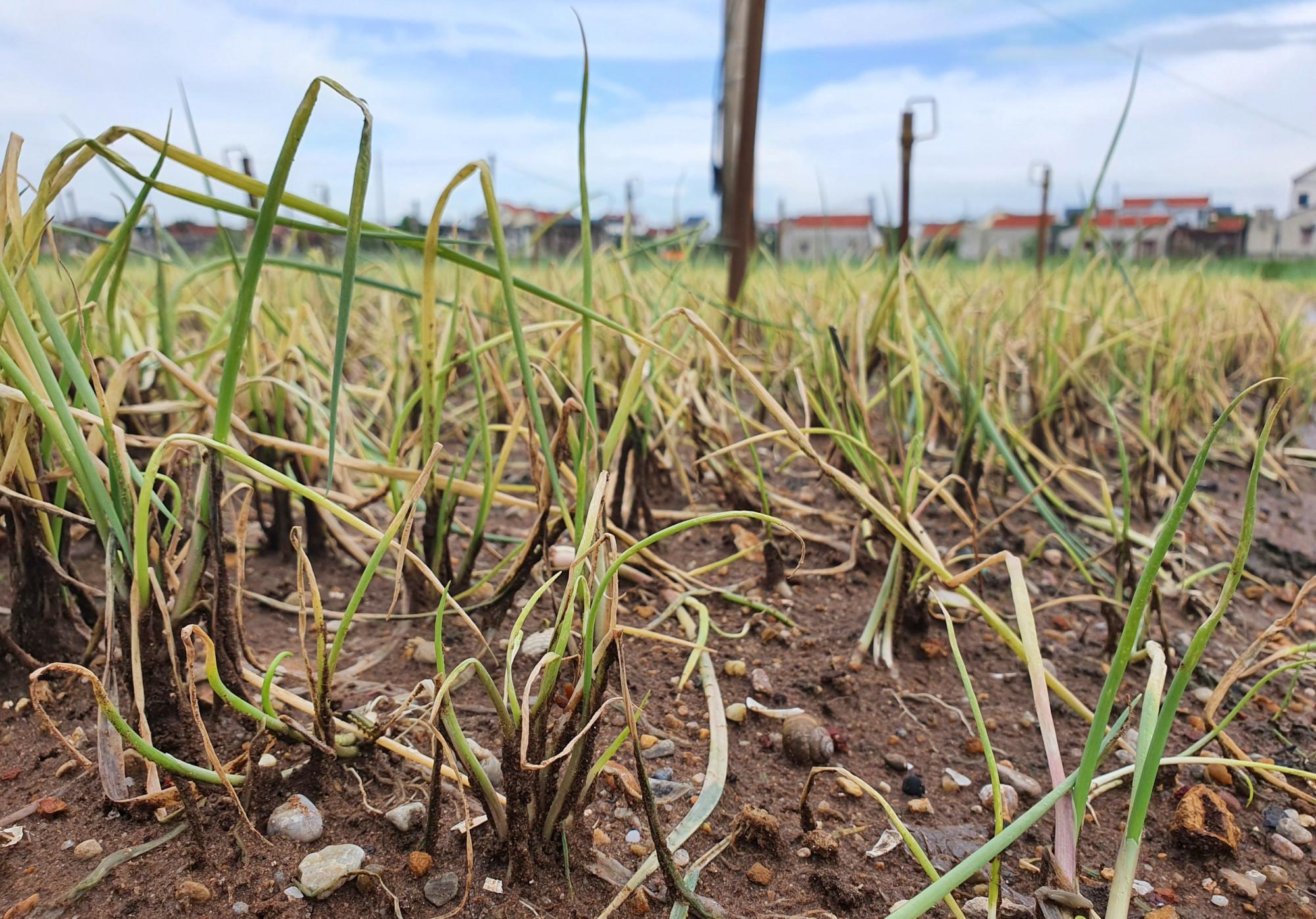 Nhiều cánh đồng rau bắt đầu thối rứa khi nước lũ rút