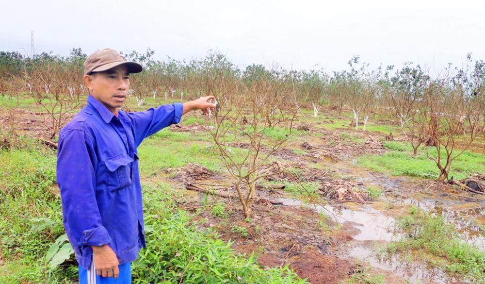 Hơn một năm sau cơn lũ đi qua, người trồng thanh trà ở thôn Lại Bằng, P.Hương Vân vẫn chưa thể phục hồi loài cây đặc sản này - ẢNH: THUẬN HÓA