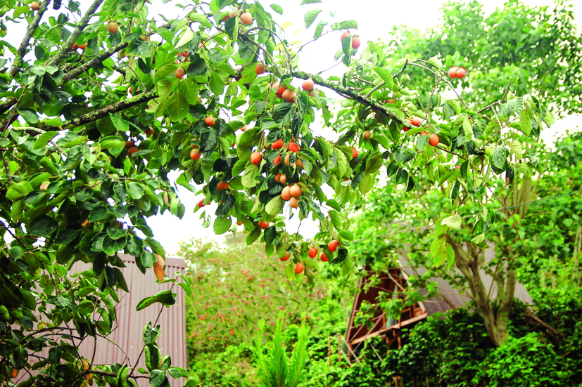 Mộc Trà farm nằm ở vùng ngoại ô không khí trong lành