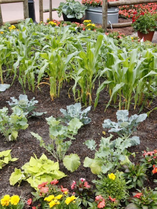 Vị trí rau là quan trọng Nhiều người thích trồng theo hàng nhưng trồng theo hình tam giác có thể cho phép bạn trồng được nhiều cây hơn trong khu vườn của mình. Đặt các loại cây cao và có giàn như ngô hoặc đậu sào ở phía bắc hoặc phía tây của khu vườn để chúng không che bóng cho các cây nhỏ hơn.