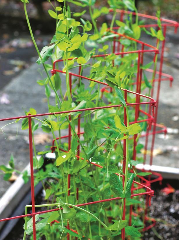 Tối đa hóa không gian bằng cách đi theo chiều dọc Trồng các loại rau dây leo, chẳng hạn như bí, đậu Hà Lan, cà chua bi, dưa chuột, cà chua hoặc bí xanh, và huấn luyện chúng thành giàn, lồng, hàng rào hoặc các cấu trúc leo khác. Trồng theo phương thẳng đứng giúp tiết kiệm không gian trong vườn và cũng đảm bảo cây lưu thông không khí tốt hơn và ít bị nấm bệnh hơn.  Ý TƯỞNG KHU VƯỜN THẲNG ĐỨNG: 16 cách để ép một khu vườn vào bộ bài hoặc sân của bạn