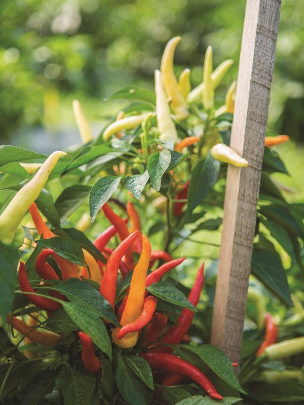 Cân nhắc trồng trong thùng chứa Nếu bạn có không gian hạn chế hoặc ít thời gian để tưới nước và bảo trì, trồng một cây rau nhỏ trong thùng chứa là một cách tuyệt vời để trải nghiệm làm vườn rau mà không cần cam kết về không gian hoặc thời gian. Thậm chí tốt hơn, các công ty cây trồng và hạt giống ngày càng tạo ra nhiều lựa chọn hơn cho việc làm vườn không gian nhỏ với ớt, cà chua, quả mọng và một loạt các lựa chọn khác được thực hiện để làm vườn trong container.  Với thói quen sinh trưởng theo dấu của chúng, dâu tây lây lan đẹp mắt trên các cạnh của chậu và tạo ra quả ngọt ngay từ cây. Các loại cây ăn quả khác, chẳng hạn như quả việt quất và quả mâm xôi, cũng là những cây chứa tuyệt vời. Tạo một nhóm các thùng chứa với các loại cây có kết cấu, màu sắc và thị hiếu bổ sung. Đảm bảo cung cấp đủ nước qua các mùa trong năm.  MẸO LÀM VƯỜN TRONG CONTAINER HIỆU QUẢ: 18 Mẹo làm vườn trong container