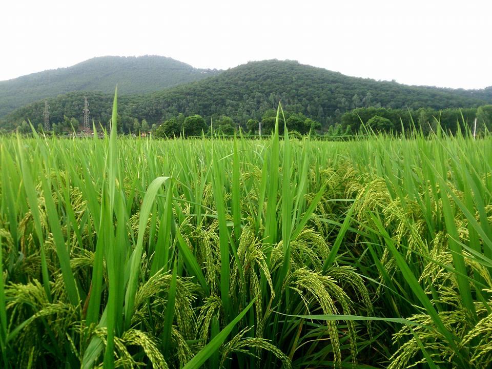 Xưa kia nhà nông gối vụ, đất đai xanh tốt quanh năm..
