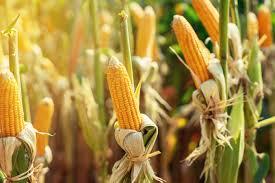 Ngô Ngô là một trong những loại rau phổ biến nhất mùa hè vì lý do chính đáng. Nó có hương vị tuyệt vời và bảo trì khá thấp. Hãy để ý sâu bọ và giữ cho ngô được tưới nước đầy đủ khi các tai phát triển và phần thưởng ngọt ngào, ngon lành đang chờ đợi.