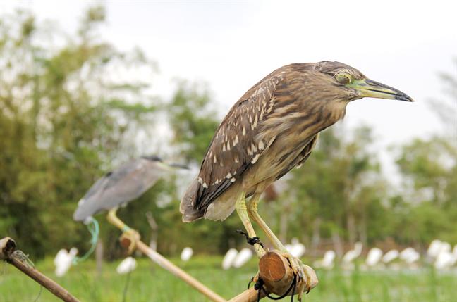 Chim mồi bị khâu mắt để nhử đồng loại