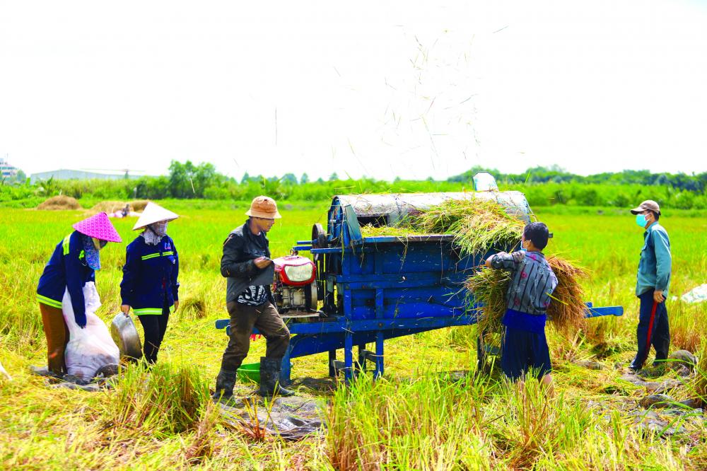 Những công nhân thất nghiệp đang cắt lúa thuê để nuôi thân và gia đình. Dẫu công việc vất vả  họ vẫn cố gắng làm, vì chịu cực đã quen