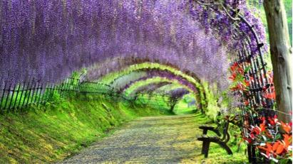 Đường hầm hoa tử đằng thơm ngát tuyệt đẹp tại Vườn Kawachi Fuji Nhật Bản.