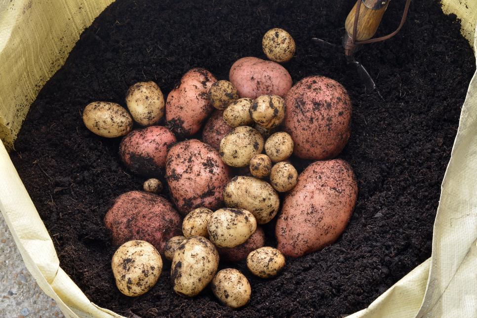 Trồng một vụ khoai tây tuyệt đẹp bằng cách trồng những người bạn đồng hành như hành tây, tansy và lúa mạch đen để kiểm soát sâu bệnh hại thông thường. Bạn cũng có thể trồng khoai tây cùng với đậu để đôi bên cùng có lợi - những cây khoai tây đói được hưởng lợi từ đậu cố định đạm.