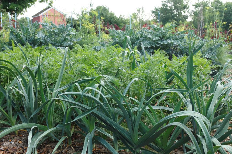 Hành tây chăm chỉ như trong vườn cũng như trong bếp, là người bạn đồng hành tuyệt vời của nhiều loại rau khác, bao gồm cà chua, khoai tây và cải bắp. Để giữ cho cây hành của bạn khỏe mạnh và tránh được sâu bệnh, hãy trồng chúng với nhiều loại rau khác cũng như các loại hoa như cúc vạn thọ và các loại thảo mộc như cỏ ca ri.